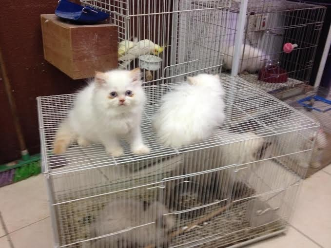 Persian cat price in jeddah